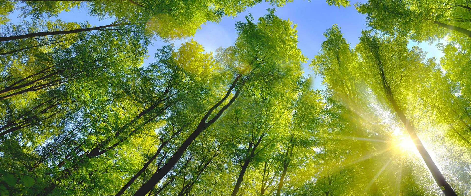 Deciduous forest with green leaves in sun light and blue sky above